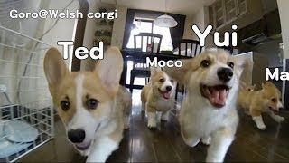 Name Of Cute Corgi Puppies Run 20130810 Part 2 / コーギー子犬