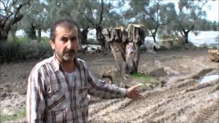 Zeytin ağaçlarının izinsiz kesildiği iddiası