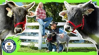 Humphrey: The Shortest Bull in the World! - Meet The Record Breakers
