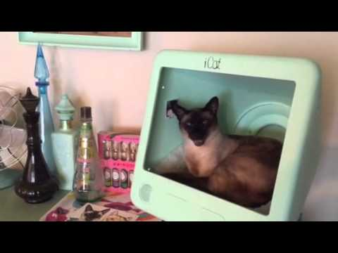 Elvis the Siamese Cat Wants a Cookie #2