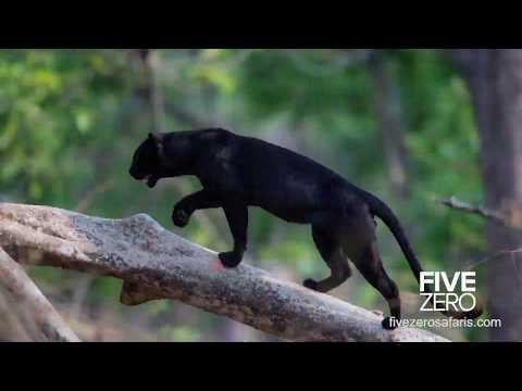 The Black Leopard Safari 2019
