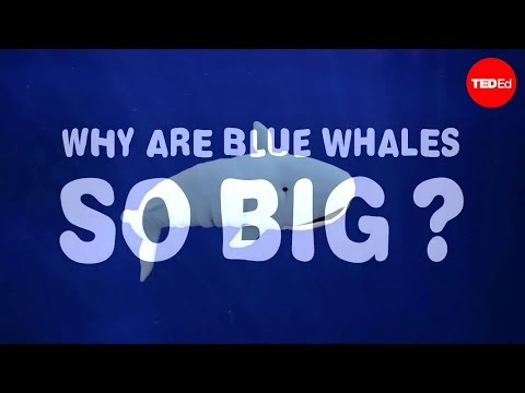 Why are blue whales so enormous? - Asha de Vos