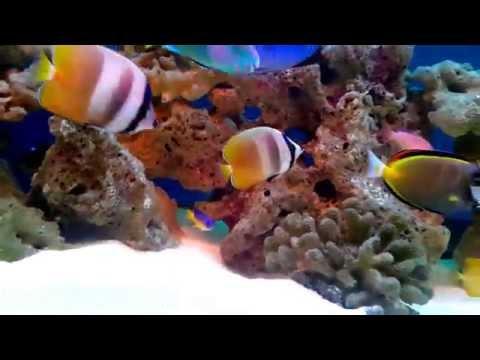 ORANGE BUTTERFLY FISH : The Best Chaetodon Sp