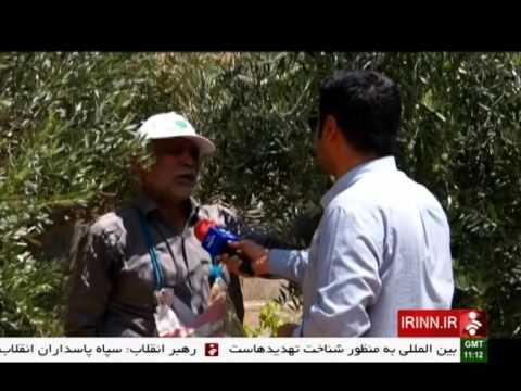 Iran Khuzestan province, Olive picking برداشت زيتون استان خوزستان ايران