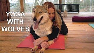 WOLF YOGA  - DOGA DOG YOGA / Animal Watch