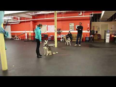 Dog Training | Sammy and his owner new's relationship | Solid K9 Training Dog Training