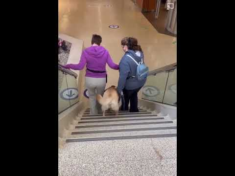 Barclay Trains to Go Down Stairs | Aspen Service Dogs