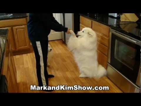 Samoyed and American Eskimo Dog Tricks!
