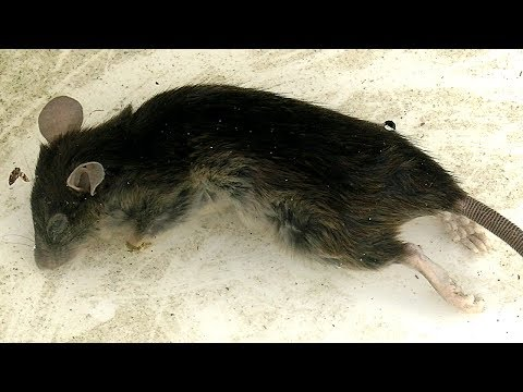 Giant Rat Trap Accident Simple How To Control Rodents
