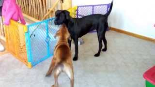 "This is a short video of Tosa Inu (土佐犬) ""Musashi"" and ""Sakura"" p..."