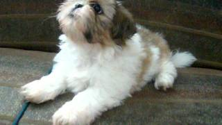Cachorro Shihtzu Junior.avi