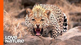 Leopard vs. Lion Pride | Africa's Hunters | Love Nature