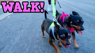 Luna & Rocky's Walk!  ChiPin (Miniature Pinscher/Chihuahua Mix) Dogs
