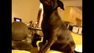 Смешные собаки чихают Смешное видео про собачок