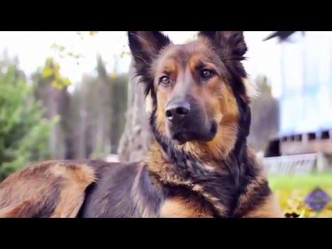 GERMEN SHEPARD Alsatian Dog Facts