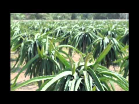 vietnam red dragon fruit farm (viet nam thanh long ruot do Hoang Long)