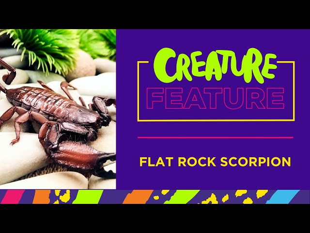 Creature Feature: Featuring Xena, the Flat Rock Scorpion!