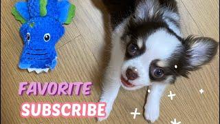 [vlog] 강아지 첫 애착인형 / 강아지 입양 / 장…