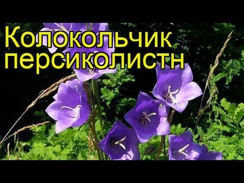 Колокольчик персиколистный. Краткий обзор, описание характеристик campanula persicifolia