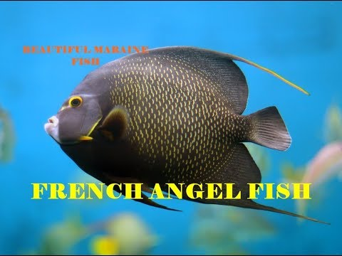 French Angel Fish | The Beauty Of Marine