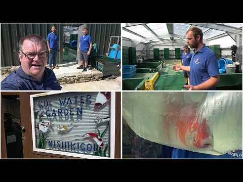 A visit to Koi Water Garden in Surrey and and the purchase of a new male Goshiki parent