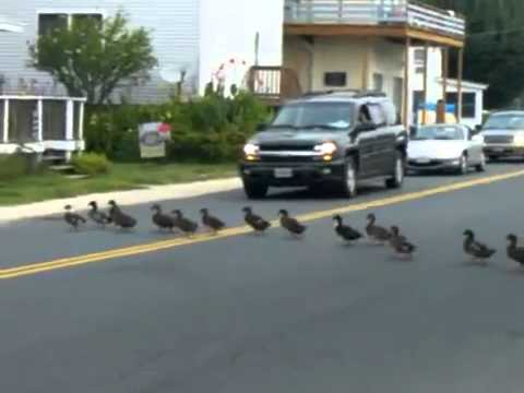 55 Ducks Crossing The Road Funny Video