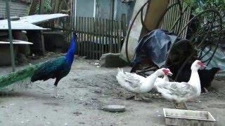Dokument - Ptaki hodowlane (Farm Birds)