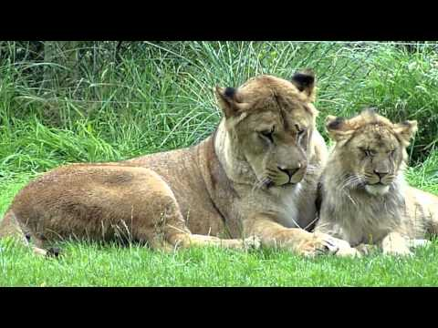 Lioness & her 2 generations of lion cubs -cute