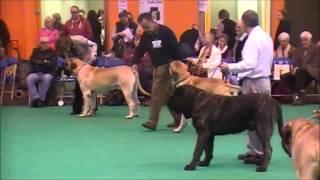 Final Mastiff Dog Crufts 2014 By Oemcbe