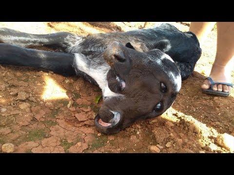VARGEM BONITA: Bezerro nasce com duas cabeças