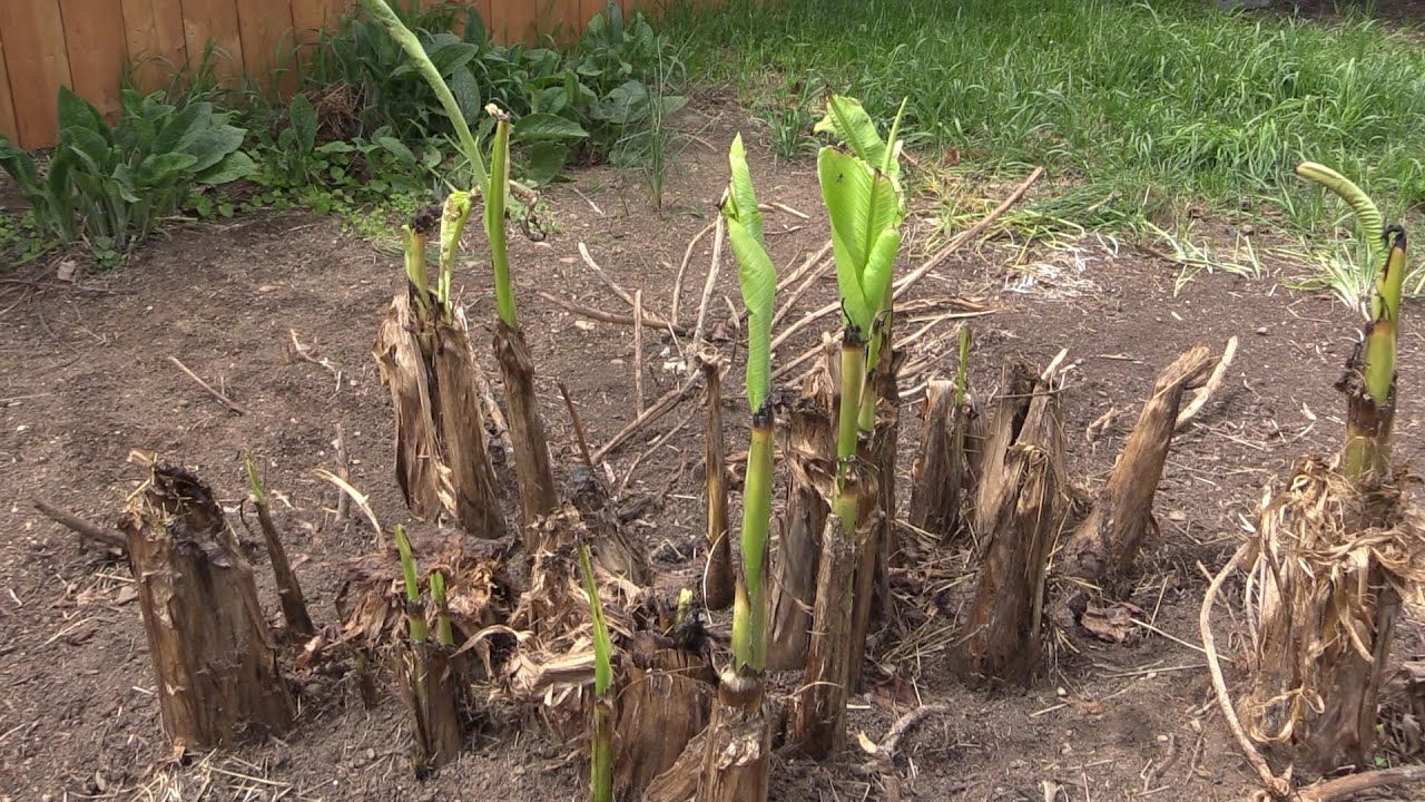 Covering Your Hardy Banana Musa Basjoo For The Winter