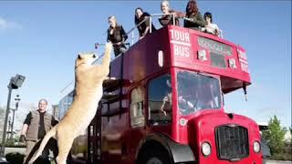 Самая большая кошка 🐈 в мире его не 🦁 ЛЕВ…