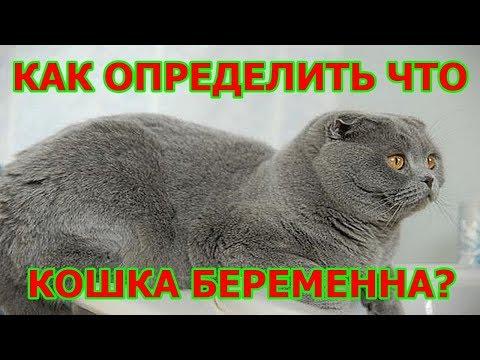 Как выглядят беременные кошки