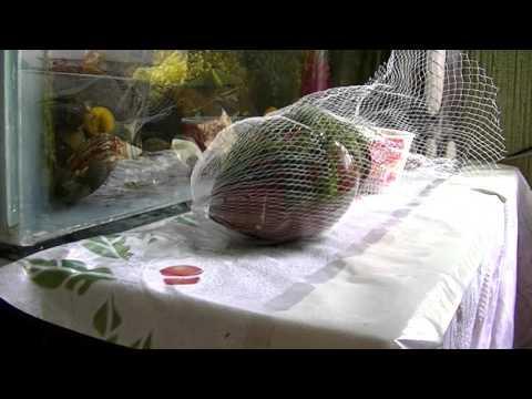 яванский мох - Vesicularia dubyana.живой домик