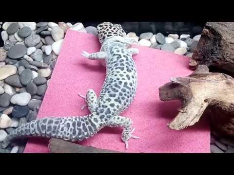 Вопрос: Как весело провести время со своим леопардовым гекконом?