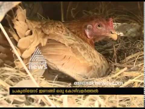 Gireesh's poultry farm in Thodupuzha | പ്രകൃതിയോടിണങ്ങി കോഴികൃഷി