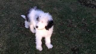 Ellie & Mowgli Sheepadoodle Puppies 17 weeks old