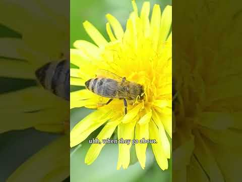 An Ode To Dandelions & Bees