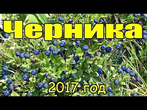 Черника 2017, поход в лес, где и как растёт черника������Russian forest