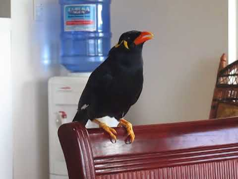 Myna bird singing  Filipino Folk Song duet and talking in Taglish