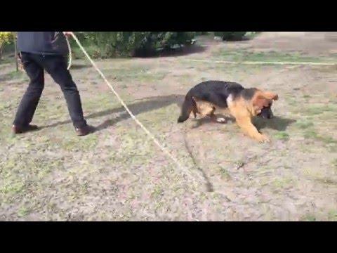 Lexus - 5 months old German Shepherd Dog for sale