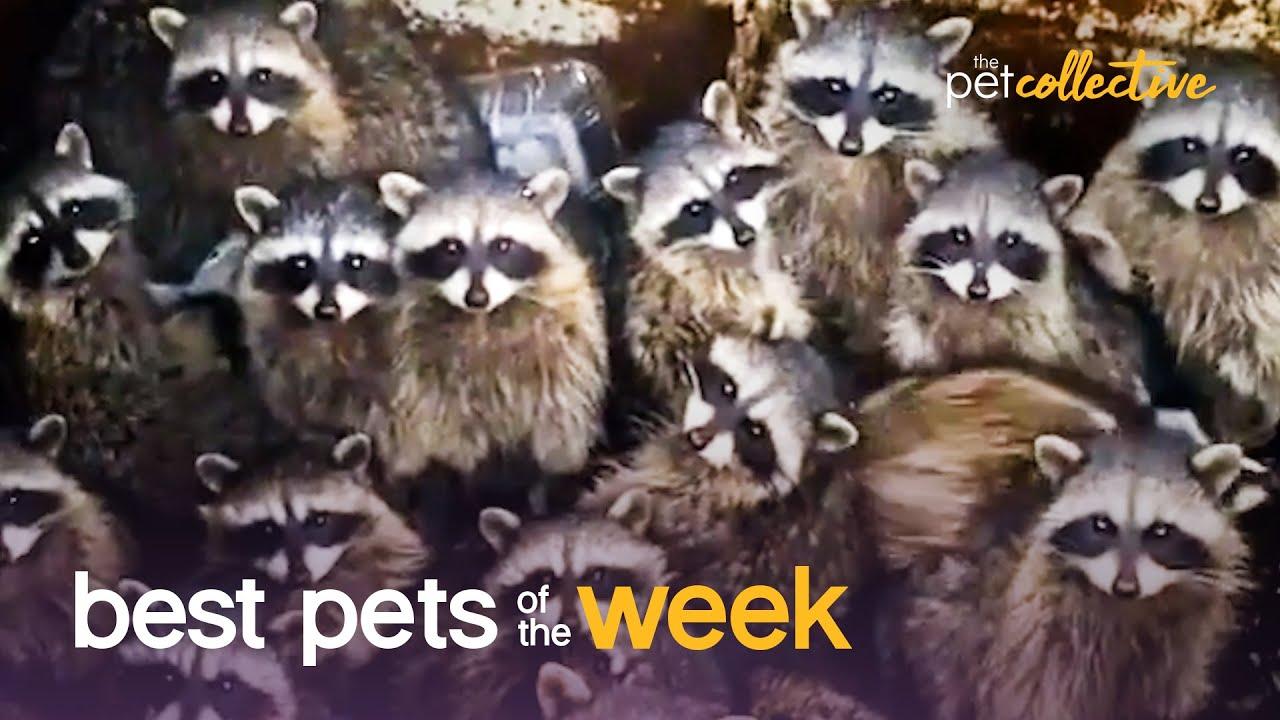 Trash Panda Party   Best Pets of the Week