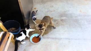 Енот украл еду у котов   Упёр хавку   Стащил по тихому   Raccoon eating cats'