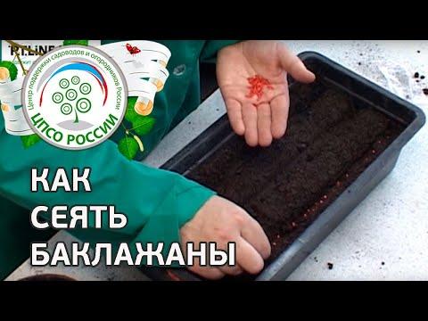 🍆 Как сеять баклажаны. Посев семян баклажанов на рассаду.