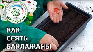 видео семена баклажанов