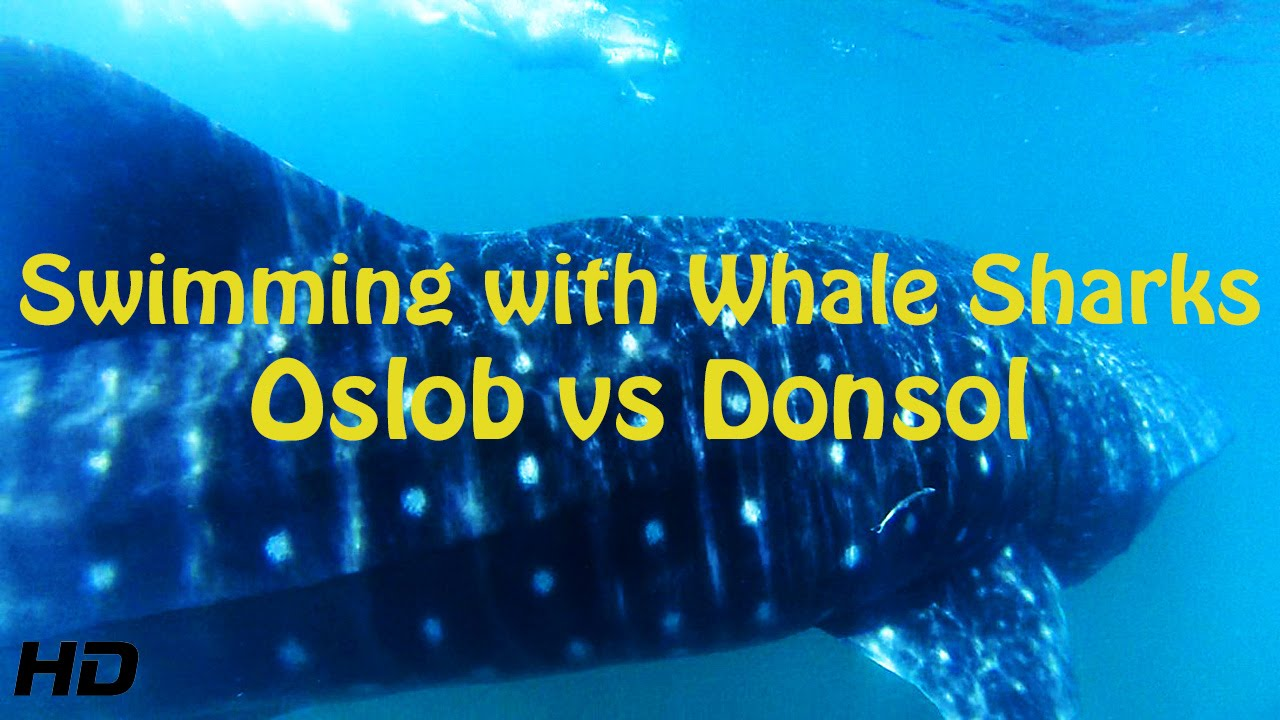 SWIMMING WITH WHALE SHARKS - OSLOB VS DONSOL