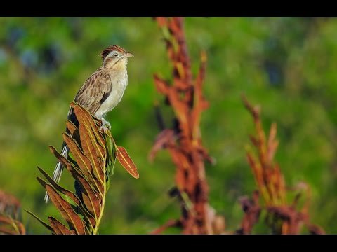 Tapera naevia - Striped Cuckoo - Saci