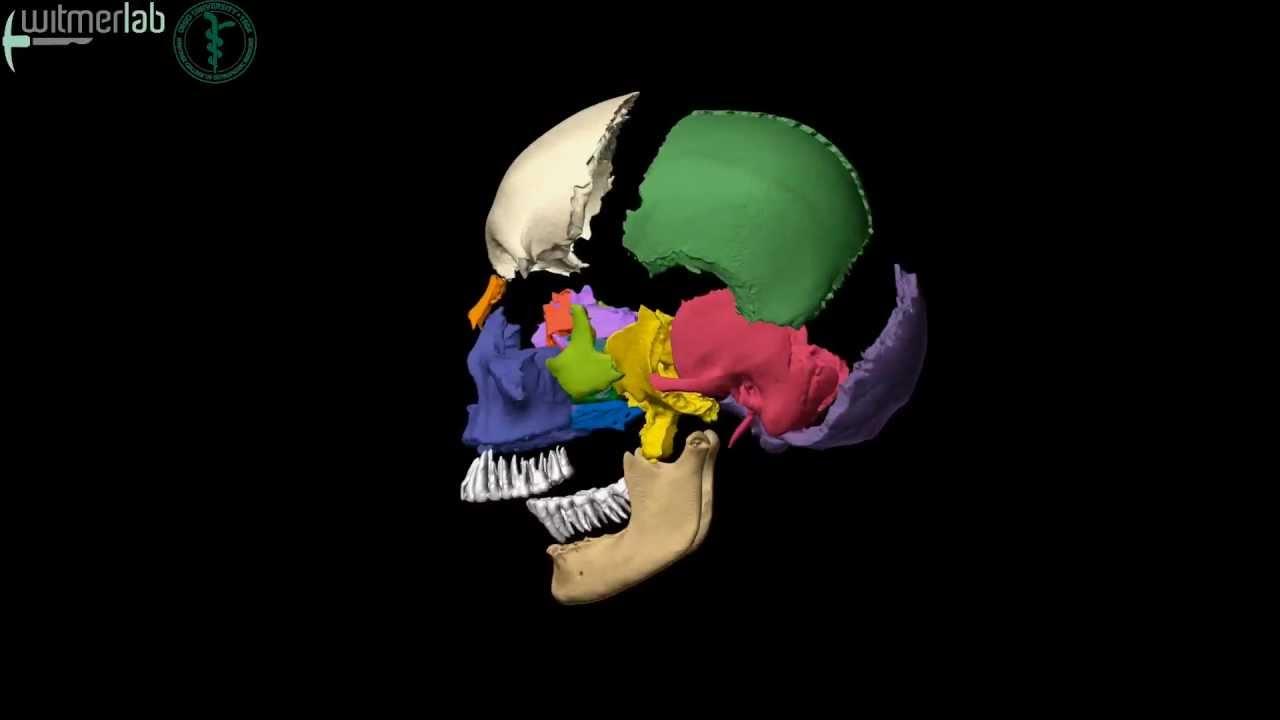 Human skull  exploded skull with bones labelled, based on