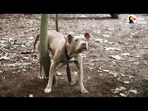 Pit Bull Left Tied To Tree In The Woods | The Dodo