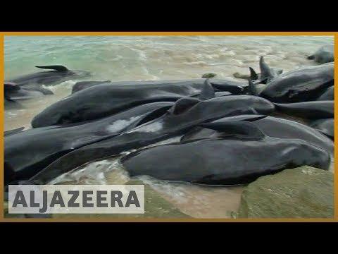 🇦🇺 Shark alert: Whales stranded in western Australia | Al Jazeera English